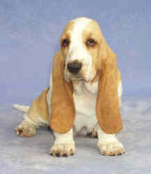 Tait's Basset puppy color guide - Lemon and White (front view, no longer produced by Tait's Basets)