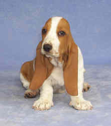 Tait's Basset puppy color guide - Open Red and White (front view)