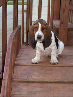 Basset puppy on stairs