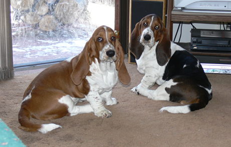 Two adult Basset hounds