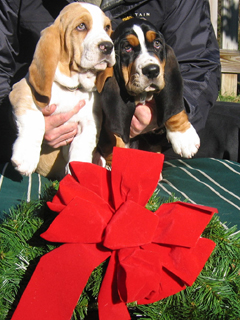 Two Basset puppies with Christmas wreath