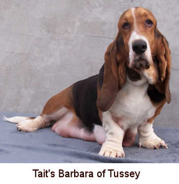 Taits Bassets Available Puppies